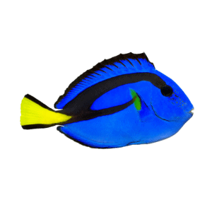 Hippo Blue Tang Captive Bred