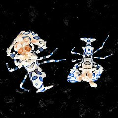 A photo of a pair of Captive Bred Harlequin Shrimp Hymenocera elegans by aquatic technology on a black background for sale at AlgaeBarn