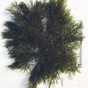 gracilaria tikvahiae green ogo macro algae for refugiums and saltwater fish tanks