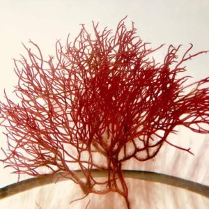 gracilaria parvispora red ogo macro algae for refugiums and saltwater fish tanks